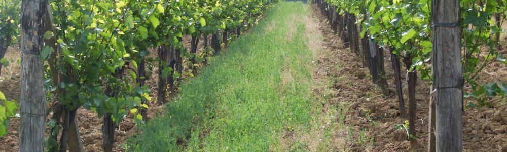 EKO vinograd 1